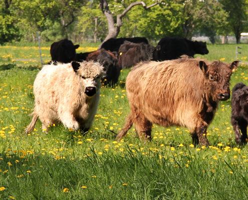 Galloway Herde auf Wiese
