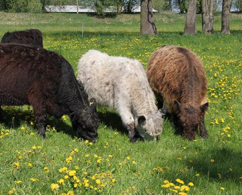 Galloway Rinder fressen Gras