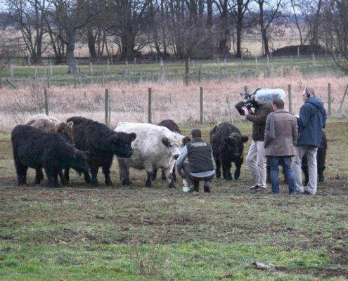 Galloway Rinder im rbb