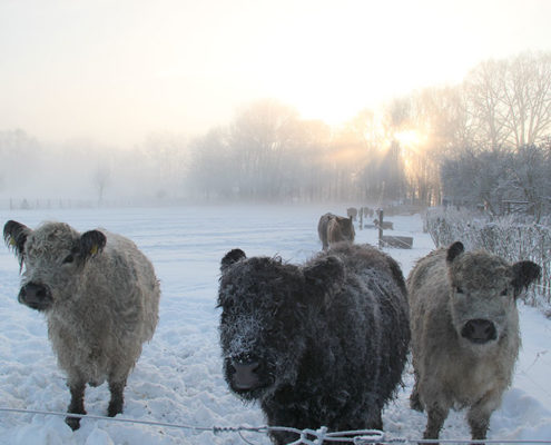 Galloway Rinder im Winter auf Weide