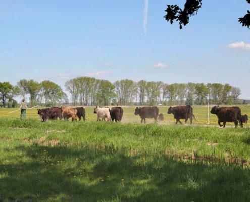 Galloway Herde auf dem Weg zur Wiese