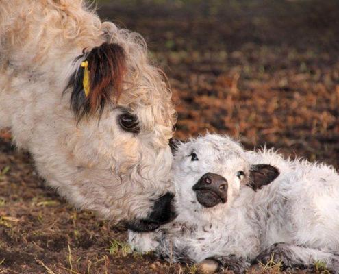 Galloway-Kuh mit Kalb auf der Wiese