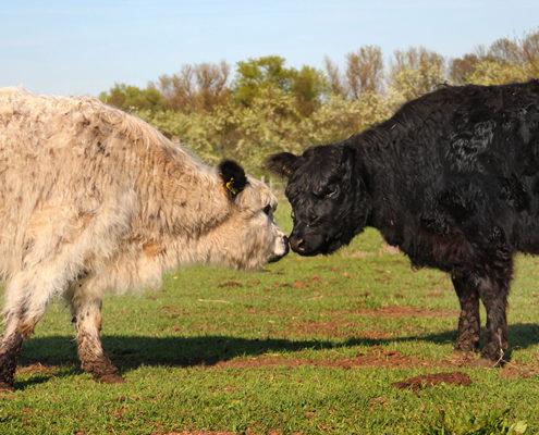 Zwei Galloway-Rinder auf der Weide