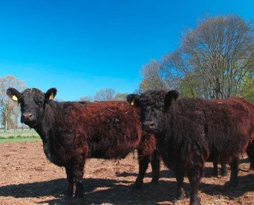 Galloway Rinder auf Wiese bei strahlend blauem Himmel