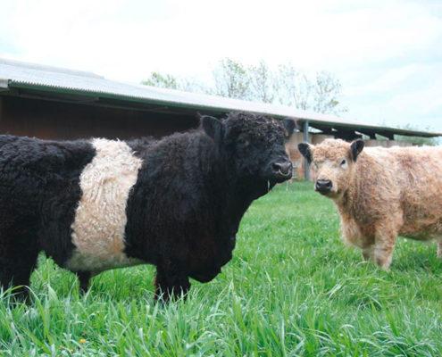 Galloway Rinder auf gruener Wiese