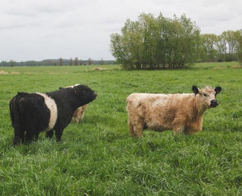 Galloway Rinder auf grüner saftiger Wiese