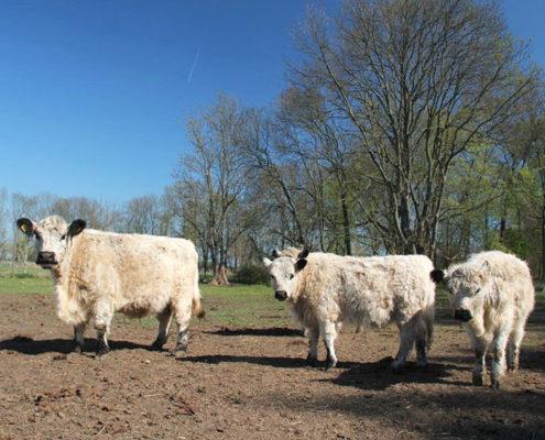 Galloway Rinder auf ihrem morgendlichen Spaziergang