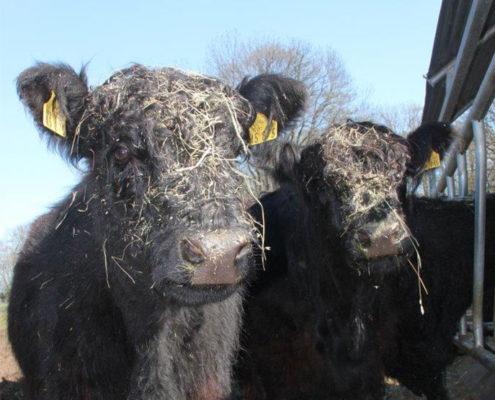 Galloway Rinder erfreuen sich an frischem Heu