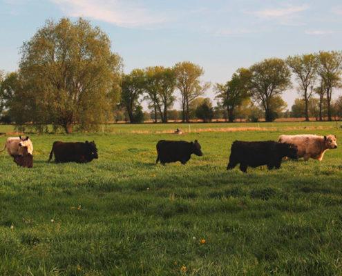 Galloway Rinder erfreuen sich an grüner saftiger Wiese