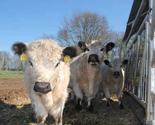 Galloway Rinder geniessen einen wunderschönen Tag